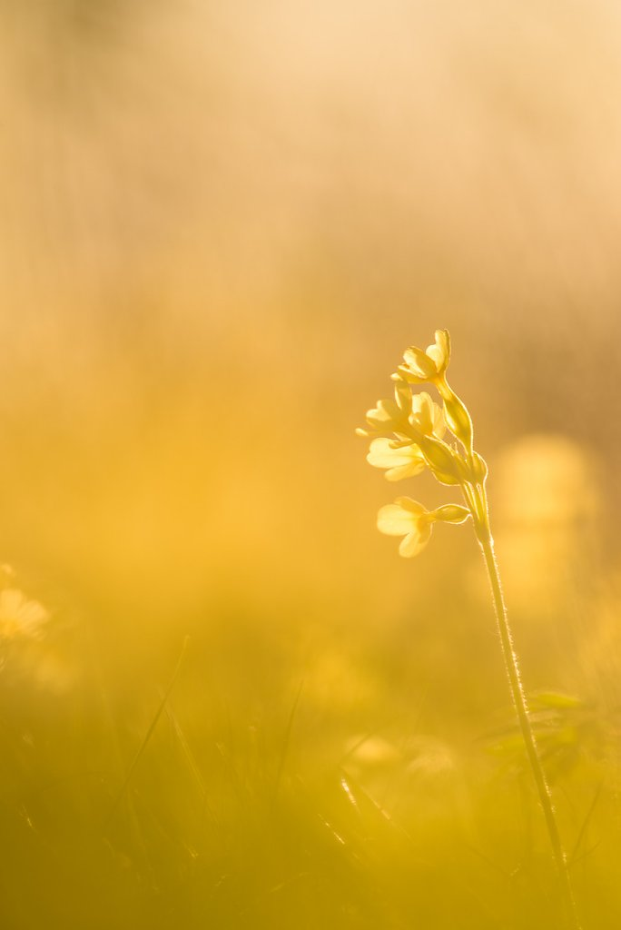 schluesselblumen-1.jpg